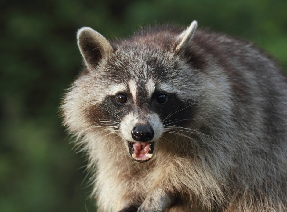 raccoons - virginia raccoon removal