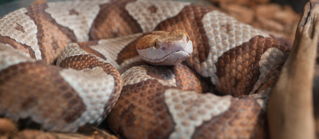 copperhead snakes