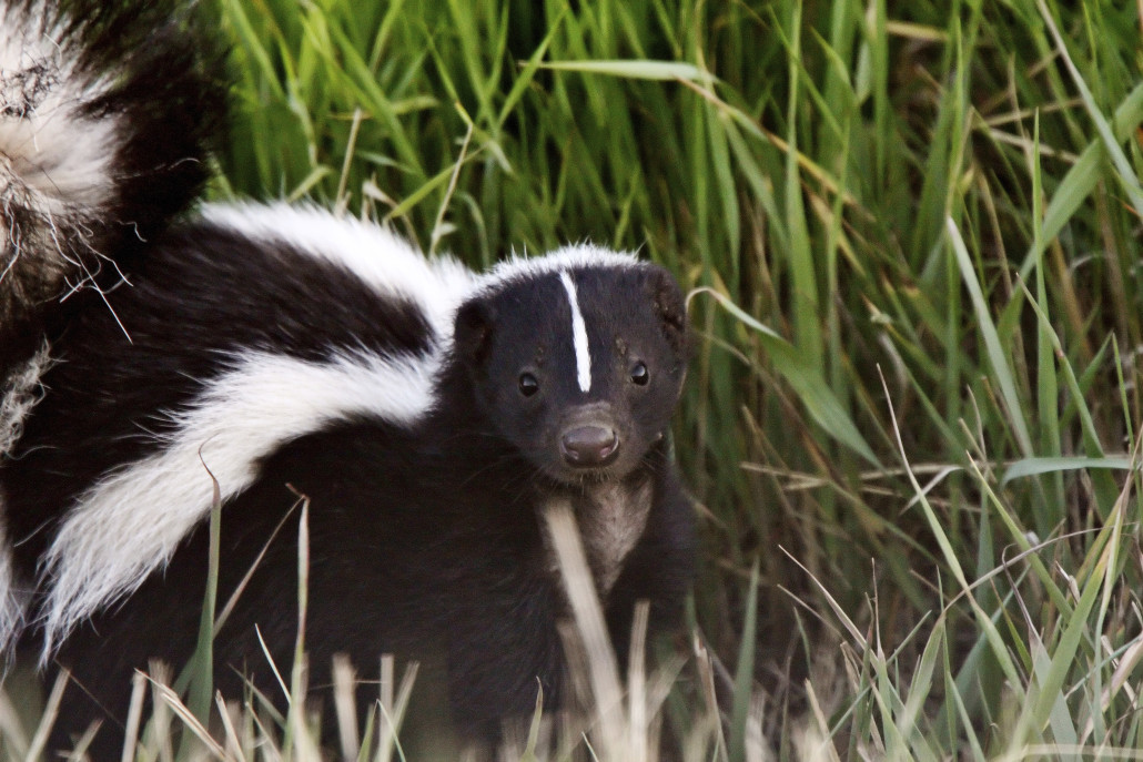 skunks removal in virginia