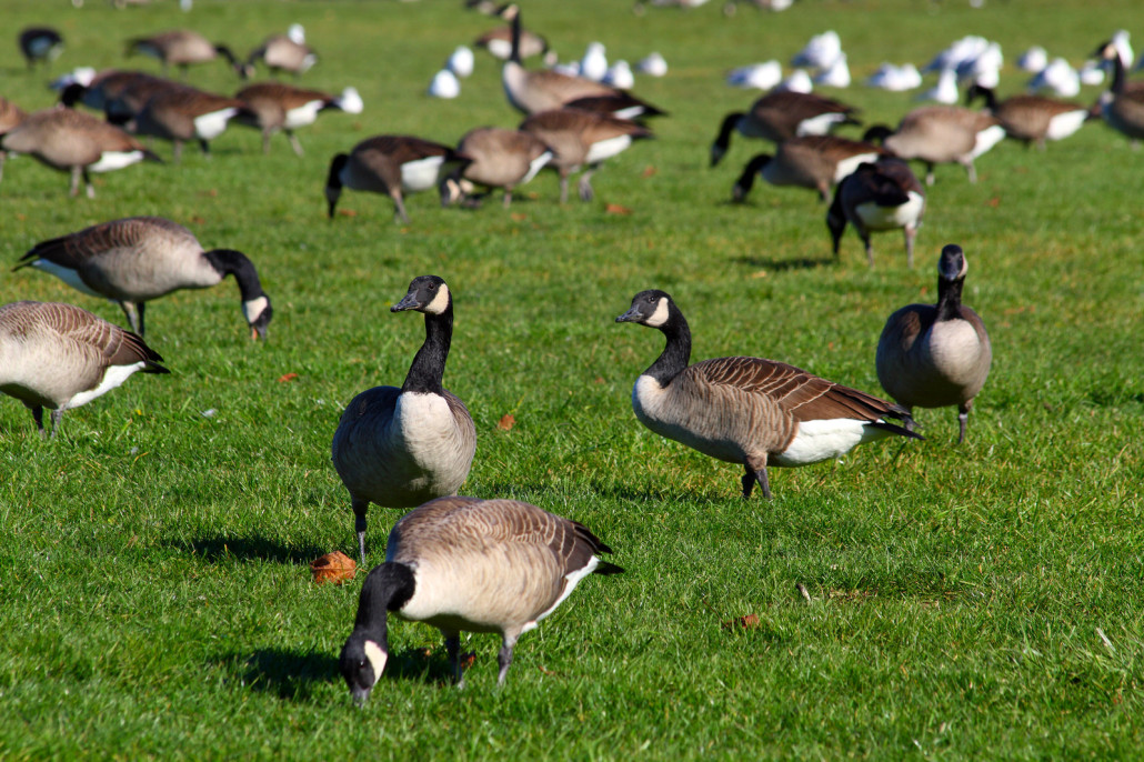 canada geese - removal and control