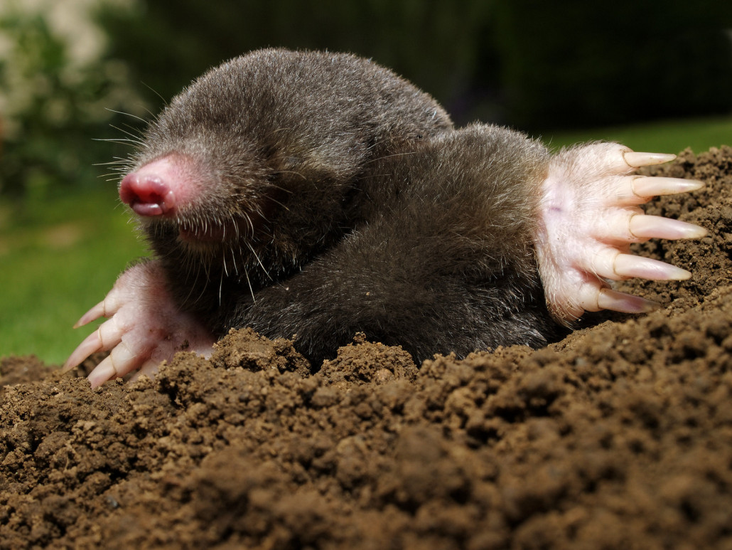 moles - virginia mole animal removal