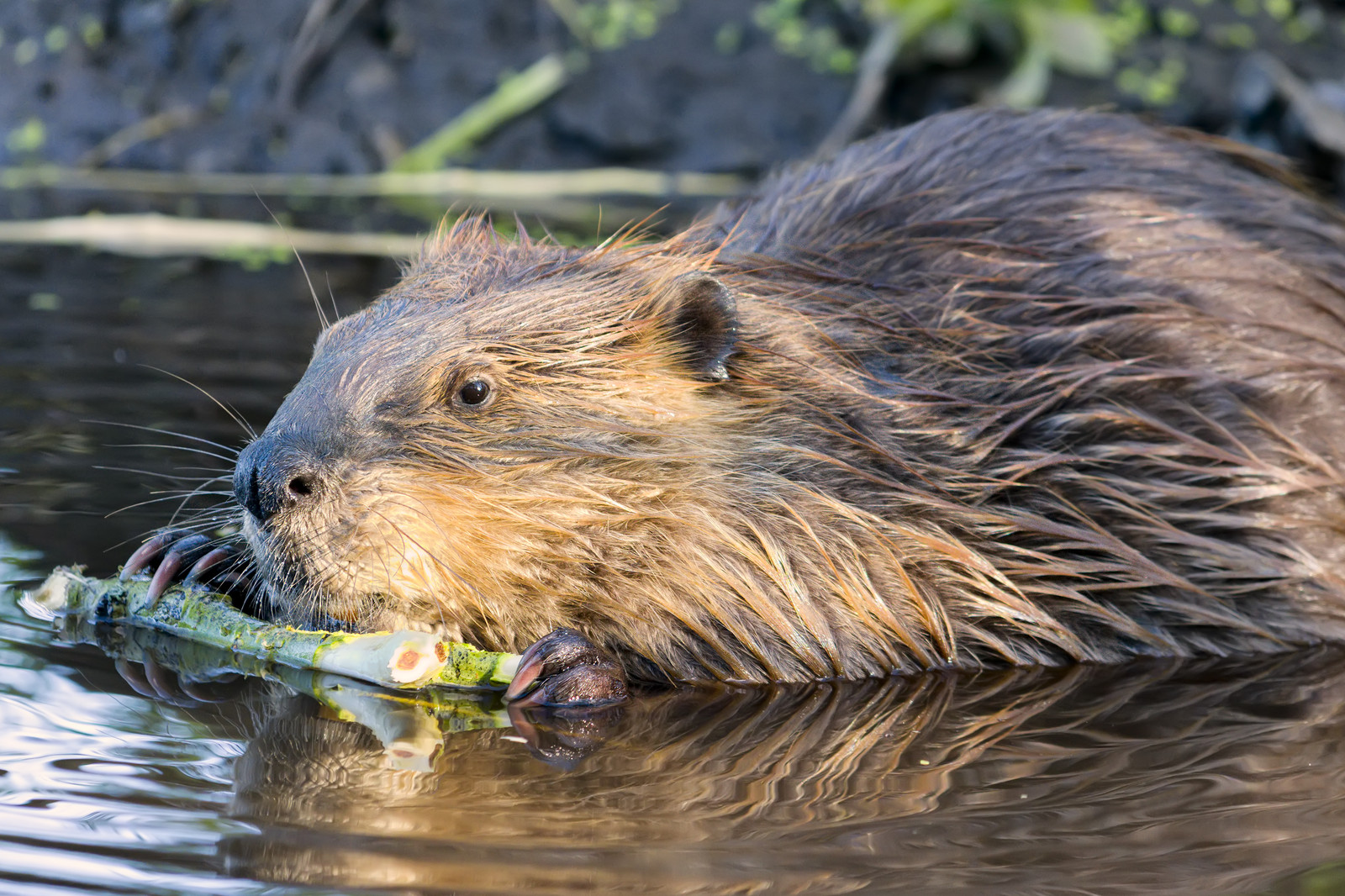 Beaver Removal & Trapping Services