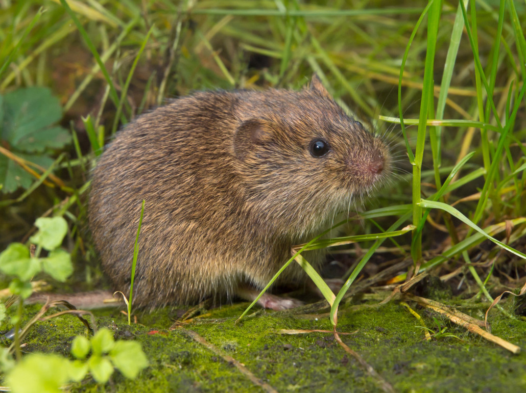 voles - virginia vole removal