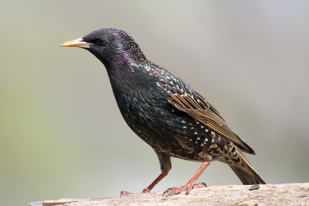 starlings - bird removal & bird control