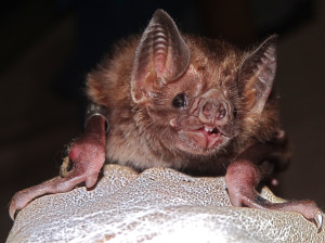 virginia bat removal from attics