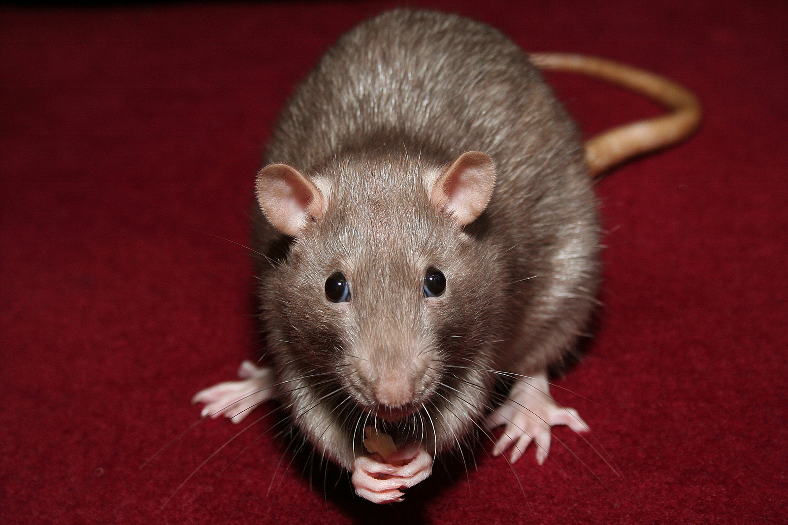 Mice Removal Amp Trapping In Virginia Pest Exterminators