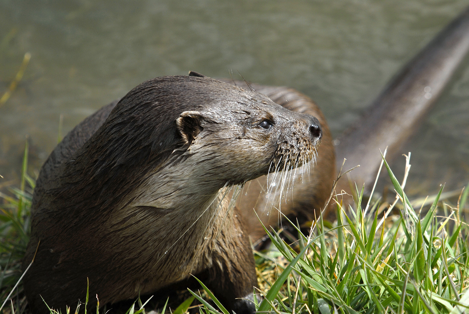 Otters Removal Virginia Professional Wildlife Removal