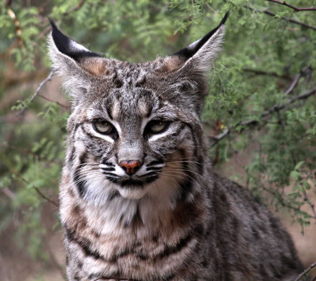 Bobcats Removal Virginia Professional Wildlife Removal