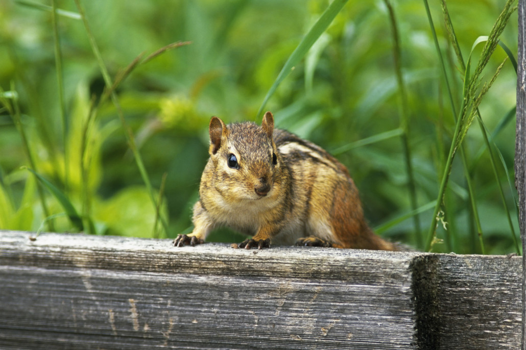 chipmunks - chipmunk trapping and chipmunk removal