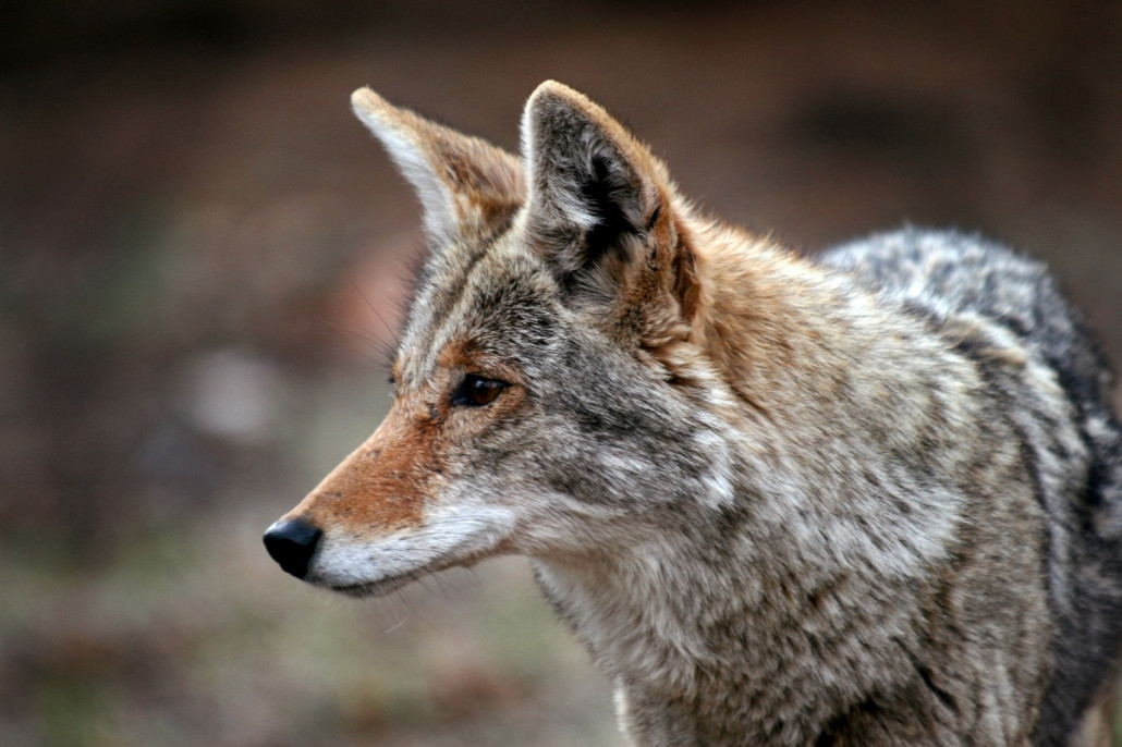 coyotes - trapping and removal