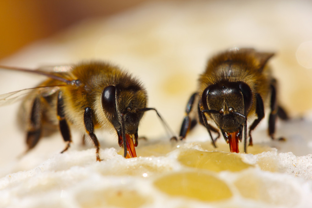 Bees Virginia Professional Wildlife Removal Amp Pest Control