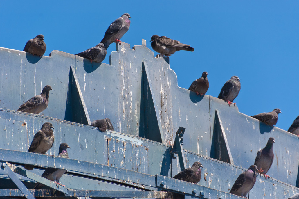 pigeons - virginia pigeon removal