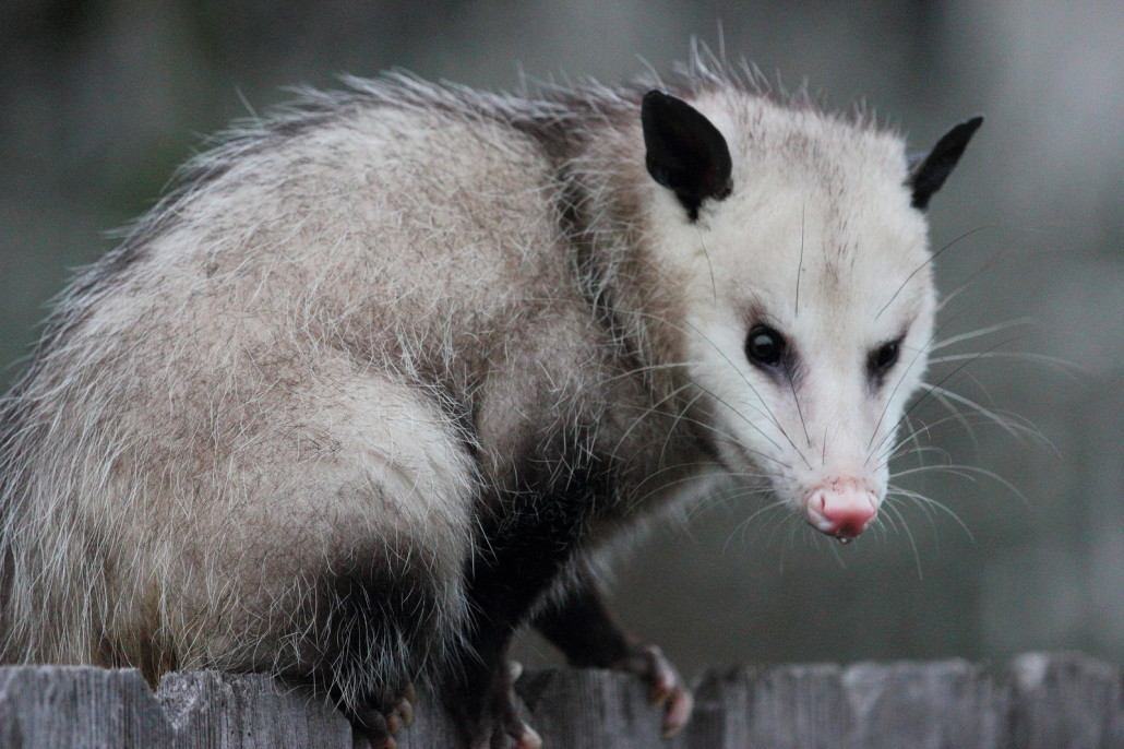 opossums - virginia possum removal