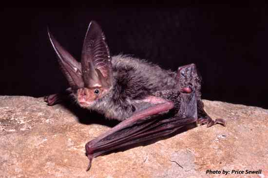 rafinesque's eastern big-eared bat