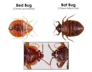 bat bugs versus bed bugs