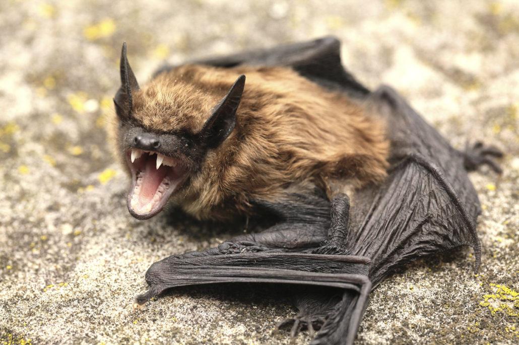 Bat Removal Charlottesville Va Bats In Attics Richmond