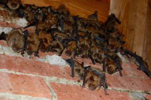 bats-in-attic-charlottesville-va