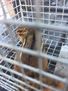 richmond chipmunk removal