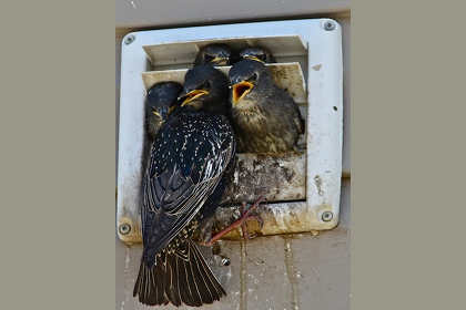 Bird Removal & Control - Birds In Vents